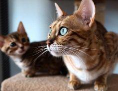 Кот породы Серенгетти