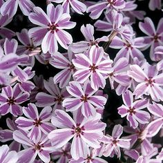"Candy Stripe Phlox subulata Creeping Phlox Plant - (4"" - 6"" h, 12"" - 18"" w), spreading/good as groundcover    for front porch bed border areas?"