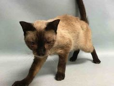 LETICIA - A1088893 - - Manhattan  *** TO BE DESTROYED 09/15/16 *** SECOND CHANCE FOR EXOTIC LETICIA!! Original hold fell thru-she has now tested positive for FELV…BEGINNER BEAUTY LETICIA NEEDS YOU TONIGHT!!…..LETICIA has made it loud and clear that she would really like to be off the street and in a home with regular meals!! LETICIA is 3 years old and she's just a little over 5 lbs!!! She is a head-butter but she is also a calm cat and she would be truly p