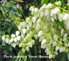 Pieris japonica snow queen