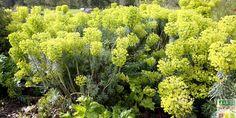 Euphorbe characias: les principaux atouts et inconvénients de cette superbe vivace d'allure exotique