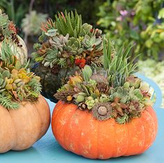 How Herb Back Garden Kits Can Get Your New Passion Started Off Instantly Succulent Pumpkin, Succulents, Pumpkins Garden Design Calimesa, Ca Succulents In Containers, Cacti And Succulents, Planting Succulents, Planting Flowers, Pumpkin Arrangements, Pumpkin Centerpieces, Succulent Arrangements, Pumpkin Garden, Succulent Gardening