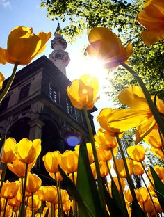 Tulips at Istanbul Nusretiye's Mosque , Turkey -- by Halit Volkan Cengiz