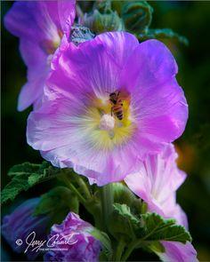 Soft Pink Delphinium Flower Fine Art Photography Print, Pink Delphinium Flower With Bee Art Print, Bee Flowers Fine Art Print