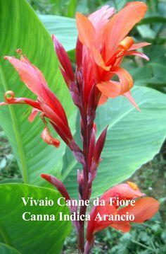 Canna Indica arancio, indian shot, canna lily, originaria alta 1,5 mt circa