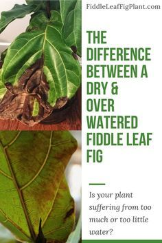 The subtle differences between an over watered and under watered fiddle leaf fig plant.