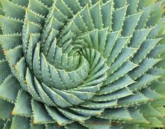 Full size picture of Spiral Aloe (Aloe polyphylla)