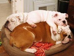 Cãezinhos Bulldog, English Bulldog Puppies, British Bulldog, Fox Terriers, Terrier Puppies, Boston Terrier, Cute Funny Animals, Funny Dogs, Beautiful Dogs
