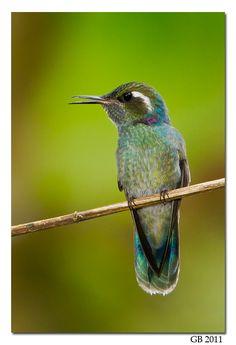 #339: Wedge-billed Hummingbird (Schistes geoffroyi)  Bolivia/ Peru/ Colombia/ Ecuador/ Venezuela