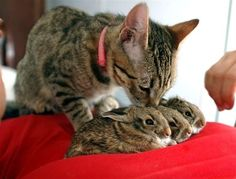 Cat taking care of baby rabbits