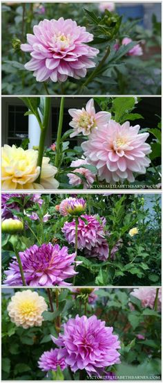 My flower garden and this year's favorite dahlias… so bright and colorful and great for cutting!