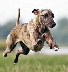 Whippet: smaller than a greyhound, bigger than an italian greyhound
