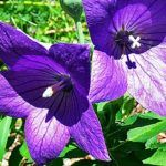 Bubbly Balloon Flower - Here is another easy to care for summer blooming flower.  I love these as they are a pretty purple blue and required very little attention.  Click the image for full details. #balloonflower #nature #garden