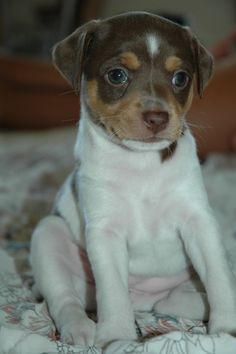 Precious I love you Rat Terrier Puppies, Toy Fox Terriers, Terrier Mix, Cute Dogs And Puppies, Doggies, Rat Dog, Cool Pets, Dog Life, Pet Birds