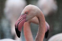 Phink flamingo