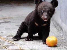 This is Smudge. He's a 4-month-old black bear cub who was taken in by an animal rescue and rehabilitation organization in China.