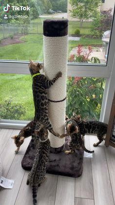 Let's climb! Pretty Cats, Beautiful Cats, Animals Beautiful, Cute Funny Animals, Cute Baby Animals, Cute Cats, Bengal Kittens, Cats And Kittens, Cat Room