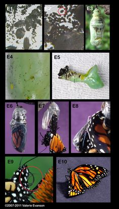 Diseases and Parasites in Monarch Butterflies- not a fun way to end your monarch raising adventures. (Notice E3 is even frowning!)