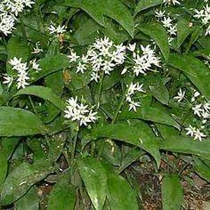 Magic Herbs, Wild Garlic, Allium, Plants, Plant, Planets