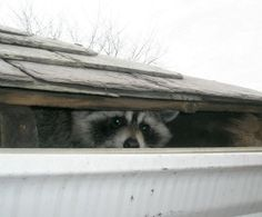 Racoons: Squatters