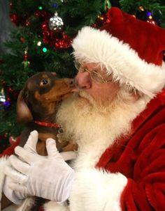 Dachshund Giving Santa A Kiss Dachshund Puppies, Weenie Dogs, Dachshund Love, Doggies, I Love Dogs, Puppy Love, Cute Dogs, Christmas Animals, Christmas Dog