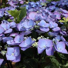 Bloomstruck Hydrangea 2
