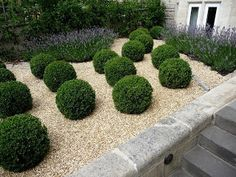 A fine selection from the Southern Living Plant Collection Baby Gem Boxwood is a cute little gem of a boxwood perfect for use in smaller garden spaces. Boxwood Landscaping, Boxwood Garden, Gravel Garden, Dwarf Boxwood, Pea Gravel, Front Yard Landscaping, Landscape Design, Garden Design, Box Wood Shrub