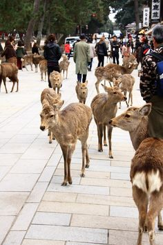 Nara, Japan. Deer and humans live together in the city.