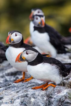 Puffins chilling in the Sun by darkosabljo #animals #animal #pet #pets #animales #animallovers #photooftheday #amazing #picoftheday