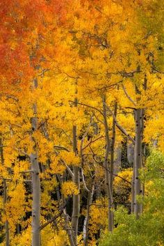 Aspen Trees in Bright Autumn Colors Photographic Print by Robbie George Autumn Scenery, Autumn Trees, Beautiful Landscape Photography, Beautiful Landscapes, Aspen Trees, Birch Trees, Fall Pictures, Bright, Photo Canvas
