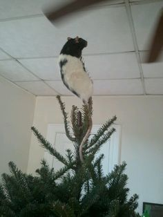 Eazy Rattie - Christmas tree topper :-)