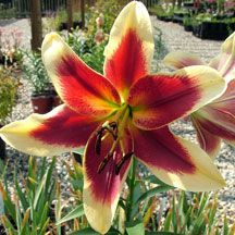 Lily Red Dutch