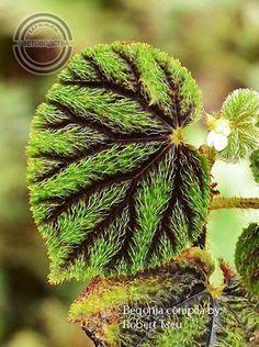 Houseplants for Better Sleep Begonia Conipila Inside Plants, All Plants, Garden Plants, Indoor Plants, Begonia, Philodendron Scandens, Belle Plante, Hydroponic Plants, Banana Plants