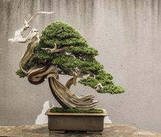 Juniper Bonsai, Bonsai Trees, All Plants, Shrubs, Roots, Gardening, Inspiration, Art, Flowers
