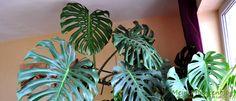 Dazu braucht man einen Ableger von der Monstera. Und so kann es gehen... Houseplants, Plant Leaves, House Plants, Interior Plants, Container Plants