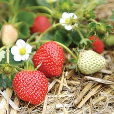 Mmmmhmmm... pick you own strawberries in Watsonville, CA. Reminds me of summers at home.