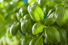 How To Harvest Basil Like A Pro | Homesteading Guide