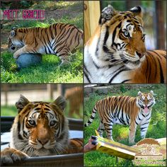 Meet Gracie! Gracie is a 12 year old Bengal/Siberian tiger mix. She was rescued with her sister from a roadside zoo. Due to neglect she is now 95% blind, but that doesn't stop her! She runs, swims, and plays just like the rest of the cats at the sanctuary. Learn how you can adopt Gracie here: http://crownridgetigers.com/adopt-a-cat