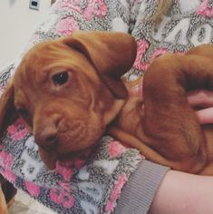 Nearly time to leave #7weeksold #phoebe #puppy #vizsla