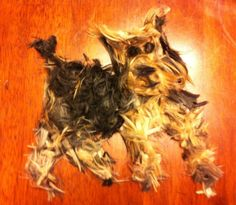 Humor Train - Yorkie hair clippings - Yep, enough to make another dog! ^_^