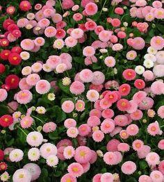 perennial garden ideas   Garden Ideas / 50+ PERENNIAL FLOWER GARDEN SEEDS - DWARF ENGLISH DAISY ...