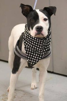 RTO<NAME: Nikki  ANIMAL ID: 34865732  BREED: boxer mix  SEX: female  EST. AGE: 1 yr  Est Weight: 42 lbs  Health: Heartworm neg  Temperament: dog friendly, people friendly  ADDITIONAL INFO: RESCUE PULL FEE: $35  Intake date: 3/15  Available: 3/21