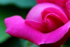 Pink Rose Ali, Rose, Garden, Flowers, Plants, Pink, Garten, Lawn And Garden, Ant