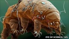 Tardigrades are microscopic animals commonly known as water bears  Endeavour launches one last time  In 2007, a little known creature called a tardigrade became the first animal to survive exposure to space.