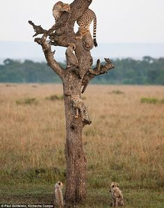 Cheetah Tree