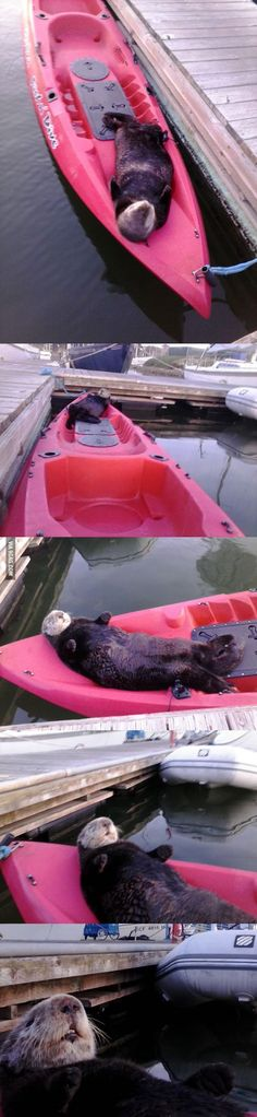 Look at this smart otter! Sea otters usually sleep in the water, anchored by each other, or water plants. Lazy Sea Otter
