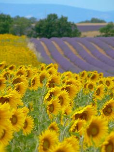 Sunflowers and lavender fields near Valensole in the Southern French Alps My sisters favorite flower is the sunflower and my favorite flower is  lavender. Love this photo.. How symbolic. ;)