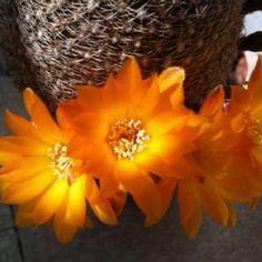 First cactus flower...sulcorebutia arenacea