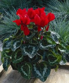 Sierra Scarlet Cyclamen produces blooms of bright scarlet. Premium plant useful for indoor decor during the Outdoor Planters, Outdoor Gardens, Indoor Gardening, Flower Seeds, Flower Pots, Garden Supplies, Great Pictures, Amazing Nature, Houseplants