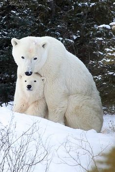 Polar Bear Mom and Cub by Raymond Yue Nature Animals, Animals And Pets, Wild Animals, Cute Baby Animals, Funny Animals, Baby Polar Bears, Bear Photos, Tier Fotos, Cute Bears